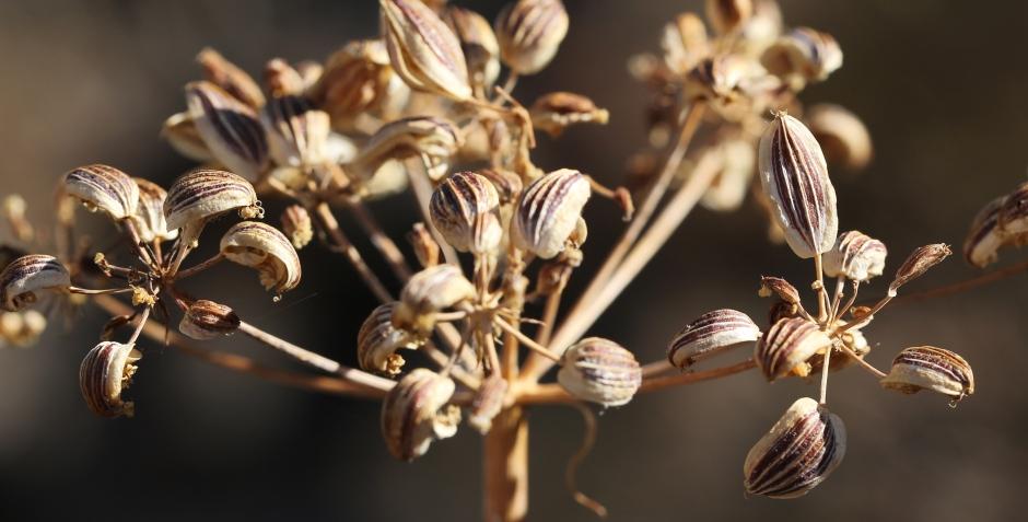 Lomatium suksdorfii 21