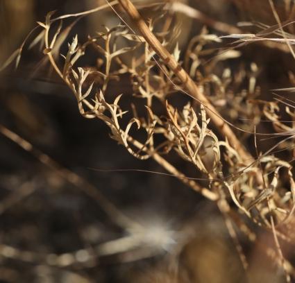 Lomatium tamanitchii 01