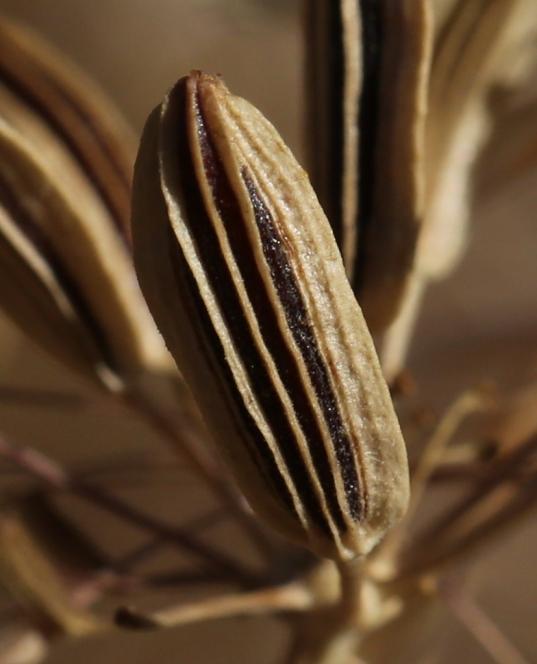 Lomatium tamanitchii 02