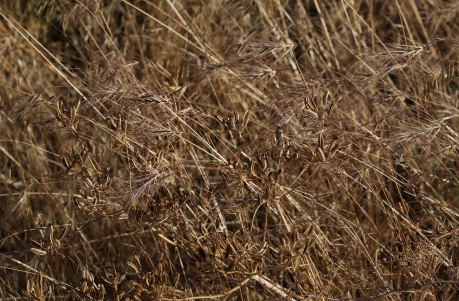Lomatium tamanitchii 03