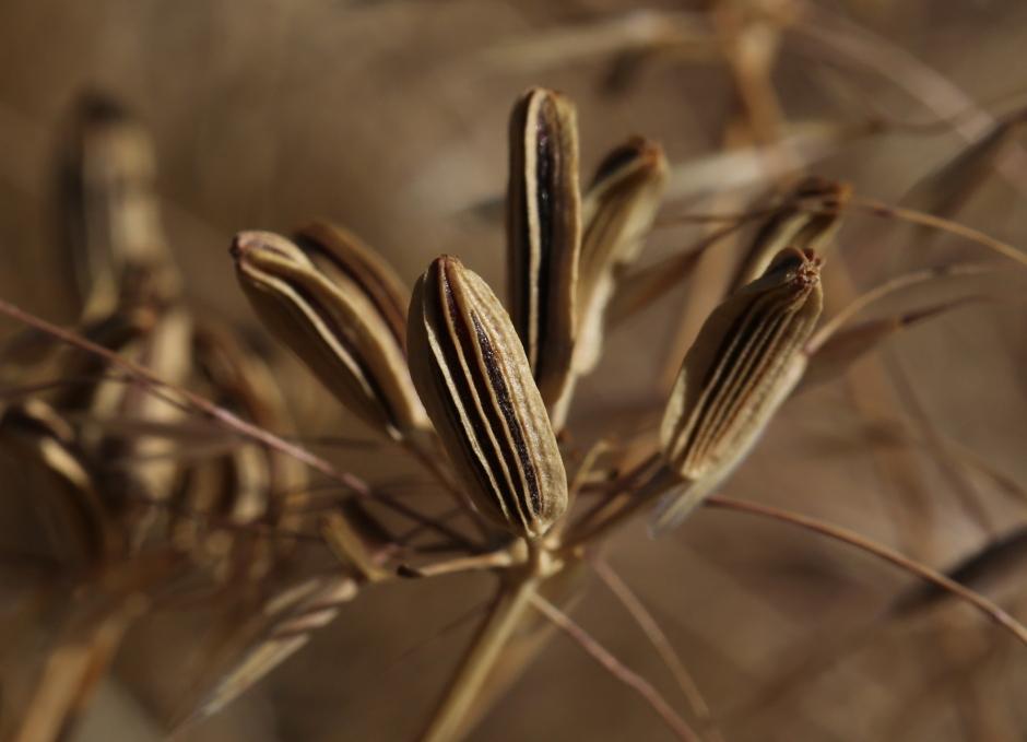 Lomatium tamanitchii 06