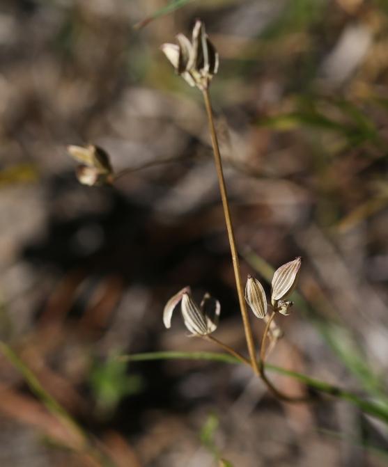 Lomatium tarantuloides 02