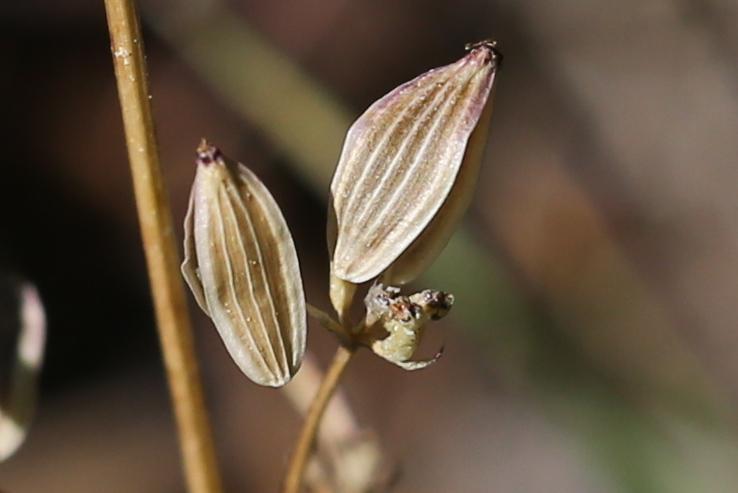 Lomatium tarantuloides 03