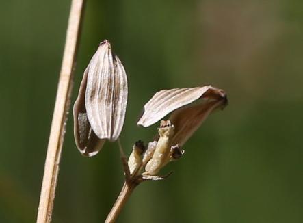 Lomatium tarantuloides 05