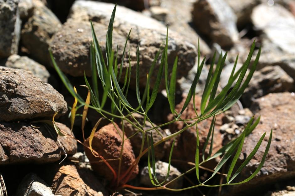 Lomatium triternatum anomalum 01