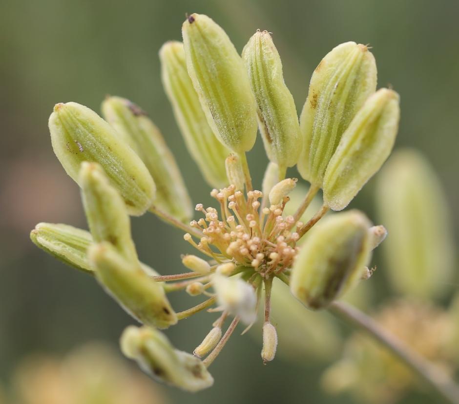 Lomatium triternatum anomalum 04