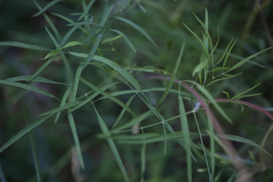 Lomatium triternatum macrocarpum 10